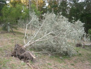 blown-over-tree-4-300x227