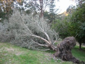 blown-over-tree31-300x224